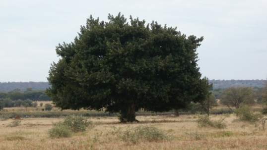 Flat-bottomed trees found right across northern Namibia. Do they grow like that naturally, or is the bottom just the height that goats cannot reach?
