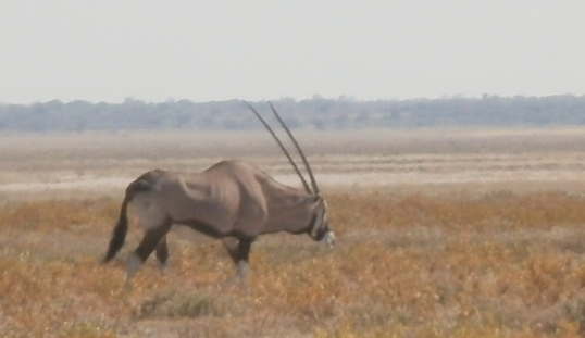 Gemsbok in the Etosha National Park