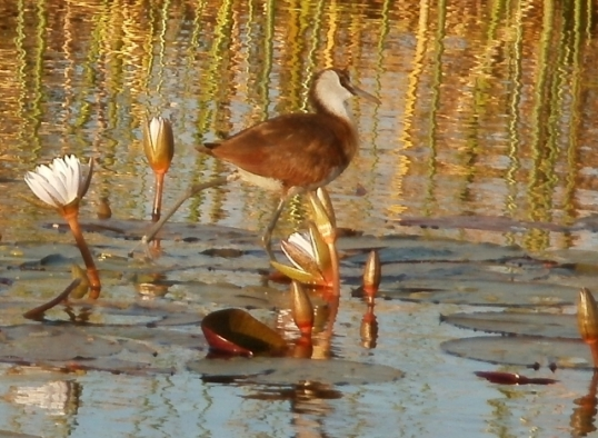 """African Jacana -- sometimes called """"Jesus birds"""" because they appear to be walking on water"""