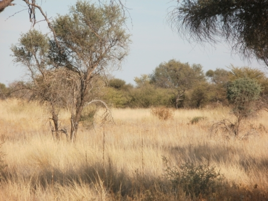 Kalahari bush and grassveld, about 65 km north-west of Kang