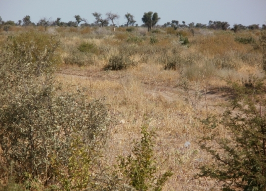 A third type of Kalahari scenery -- low scrub with scattered trees