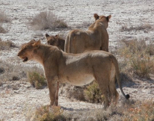 Lions emerging from a culvert near Nebrownii waterhole in the Etosha National Park