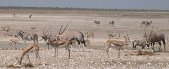 Springbok, gemsbok and zebra at Nebrownii waterhold near Okaukuejo, Etosha National Park