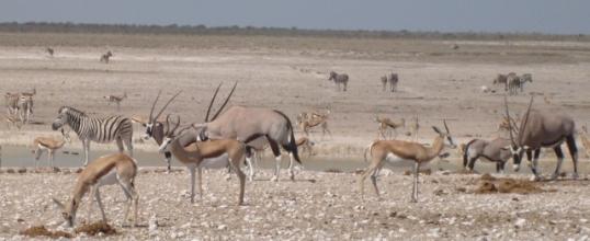 Springbok, gemsbok and zebra at Nebrownii waterhold near Okaukuejo, Etosha National Park