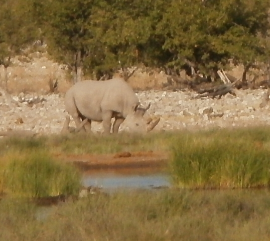 White rhino at Rietfontein waterhole near Halali in the Etosha National Park