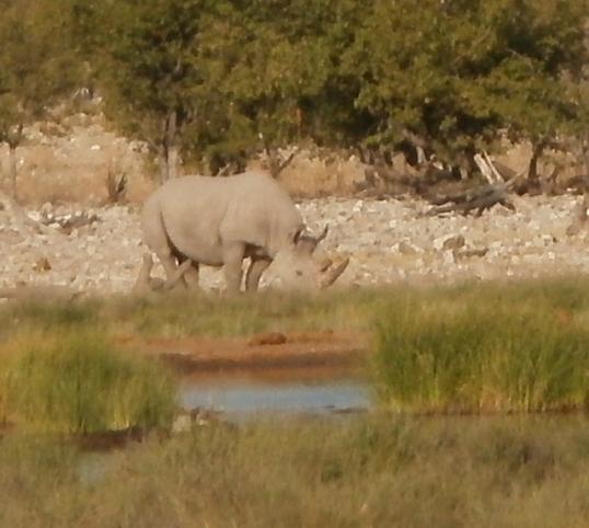 White rhino at Rietfontein waterhole near Halali in the Etosha National Park