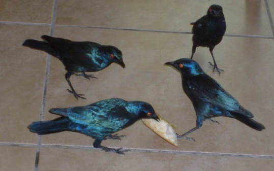 Starlings grab food from unwary diners at Halali camp