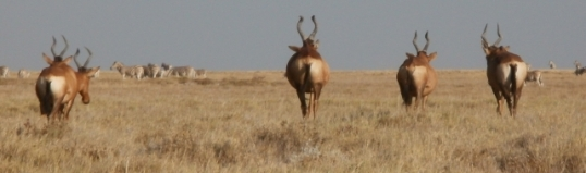 Red hartebeest (tsessebe). When your face is butt-ugly, you turn your best side to the camera