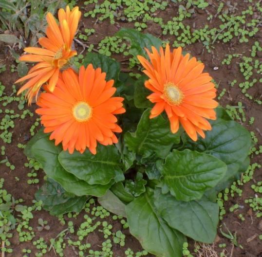 Barberton daisies