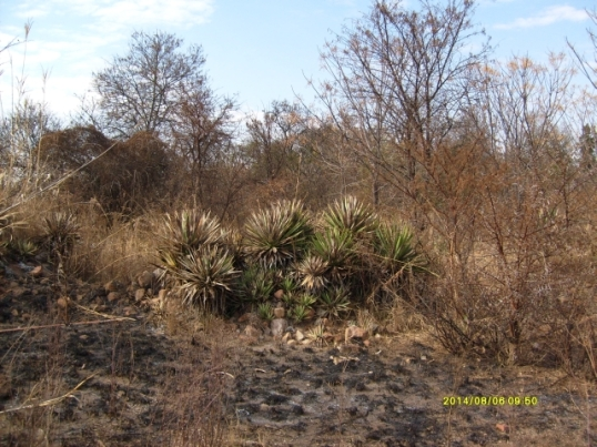A clump of aloes hides a ruined habitation, a relic of a troubled past