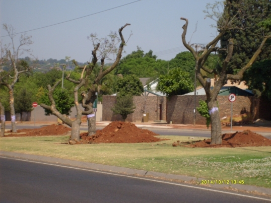 Some of the newly=planted trees -- the holse have not yet been filled in.