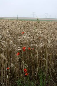 Red poppies among the corn (photo by Chris Gwilliam)