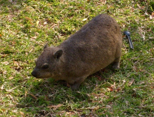 A dassie, said to be the closest relative to the elephant