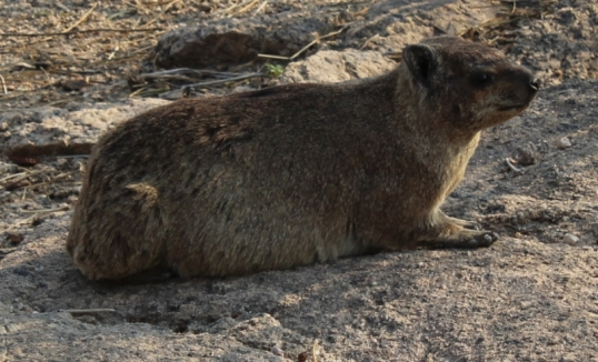 Another dassie -- the Augrabis Falls National Park abounds with them, and they are as tame as pet rabbits