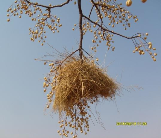 A scruffy birds' nest among the syringa trees