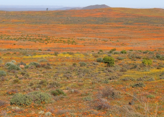 Namaqualand daisies on the hills near Spoegrivier, 20 August 2015