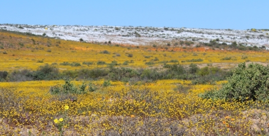 Fields of flowers along the Swartlintjies River, on the road between Hondekip Bay and Springbok