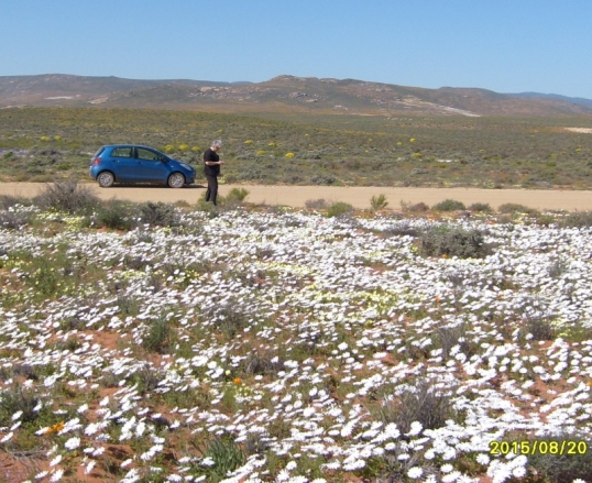 Daisies on the road from Wildperdehoek (Wild Horse Corner) to Soebatsfontein