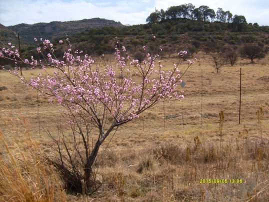 There are lots of fruit trees growing alongside the road to Ladybrand in the Free State, perhaps spring from pips spat out by passing motorists.