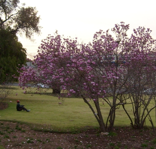 Spring blossoms in mid-winter: Magnolia Dell, Pretoria, Tshwane, 18 July 2016